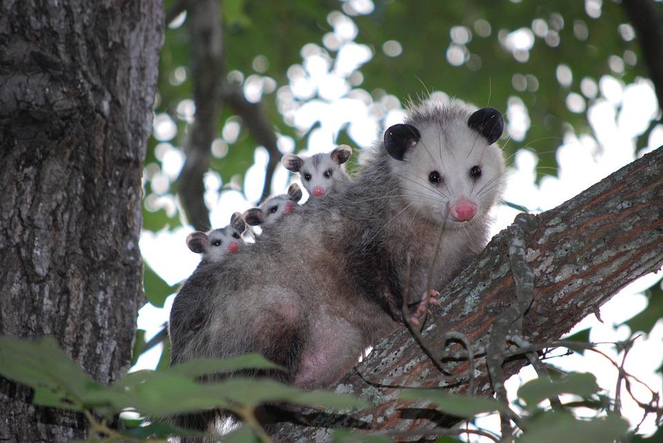 possum-1802326_960_720