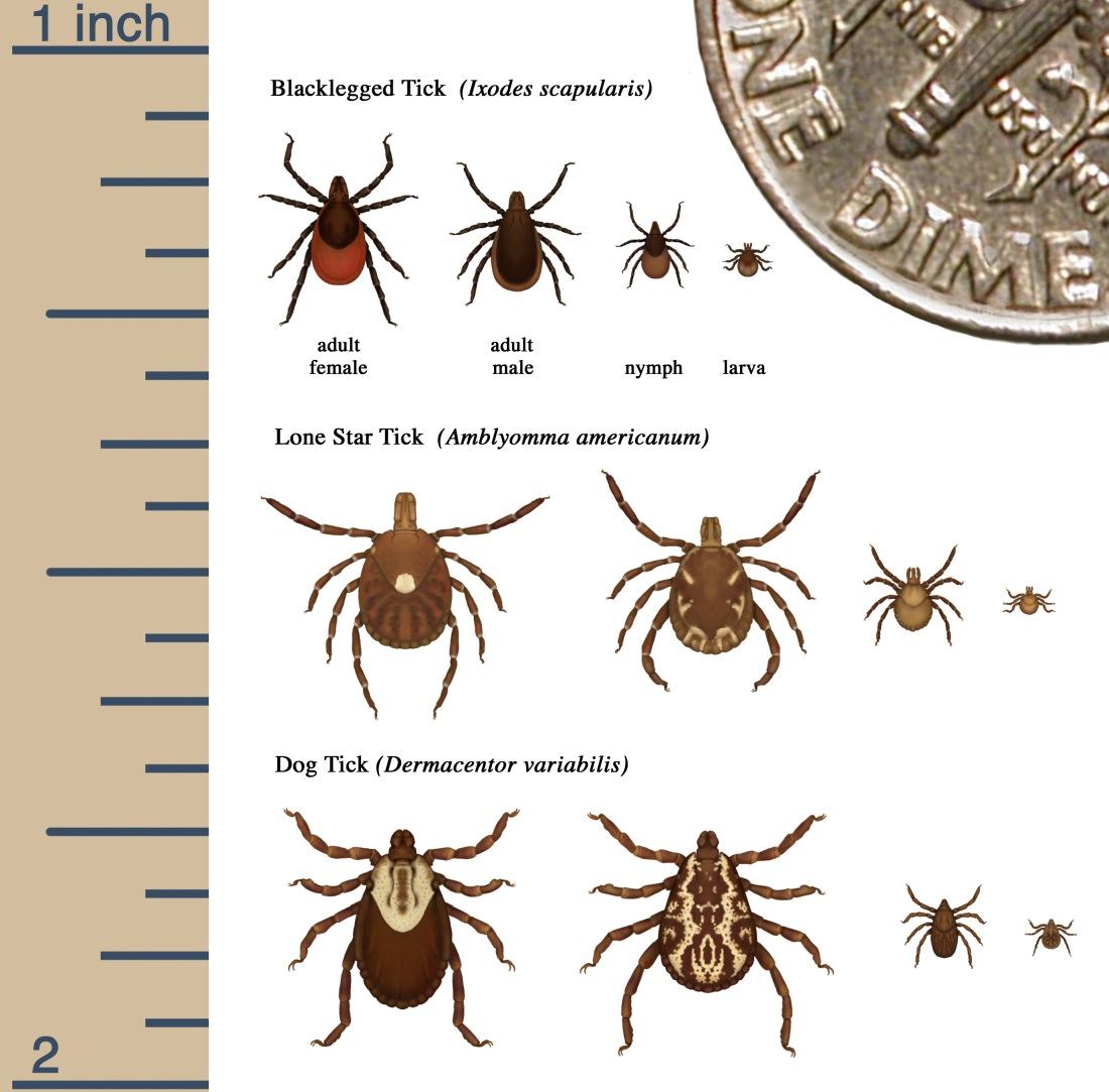 tick-identify-image-cdc